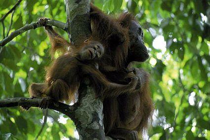 070207 orangutan big 45