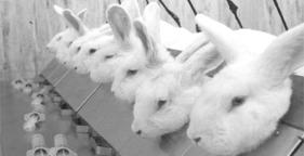 281x144 lab rabbits 45