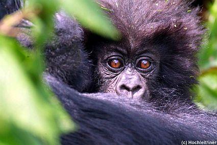 2tag rwanda gorillas 1 179 kl 45