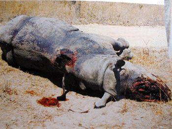 a poached black rhino 9