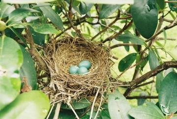 a songbird nest