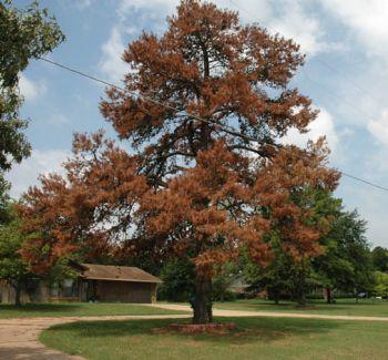 a loblolly pine tree