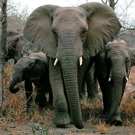 african elephant 2411