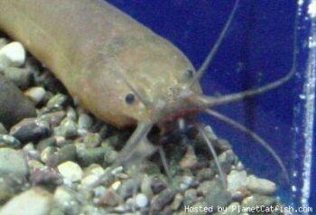 african eel catfish