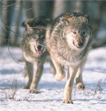 alaskas predator control program 9