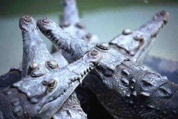 american crocodiles 9