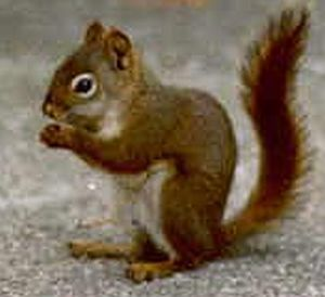 american red squirrel 9