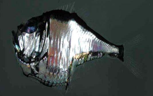 argyropelecus aculeatus