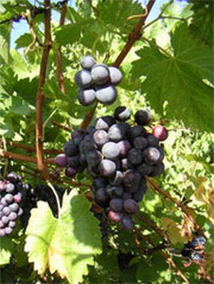 australian grapes 9