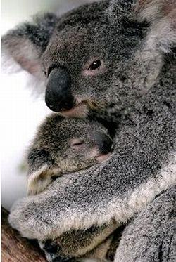 australian koalas 9