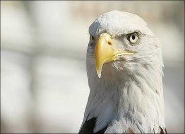 bald eagle 2282