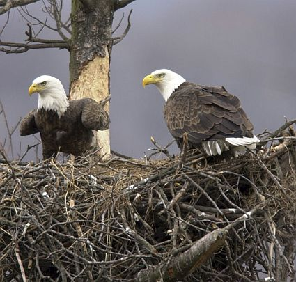 bald eagles nest 45