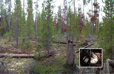 belize pine forest 246