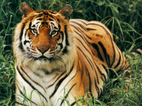 bengal tiger 1 mdis