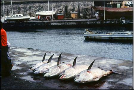 bluefins1 45