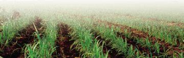 brazilian sugarcane cultivation 9