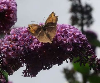 britains commonest butterfly appeared early 9