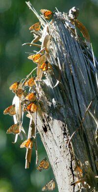 californian butterflies