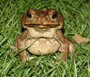 cane toad lure their young to death 9