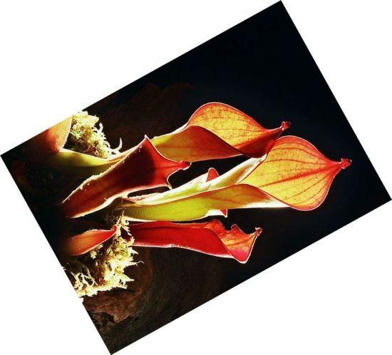 carnivorous plants 4