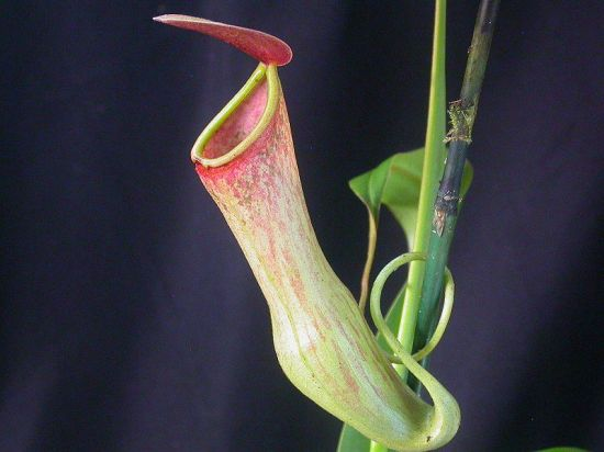 carnivorous plants 5