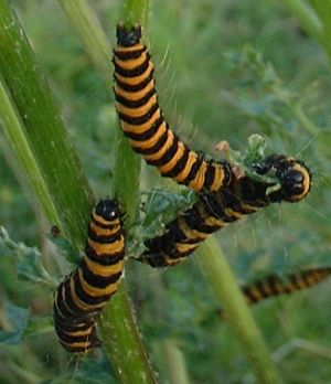 caterpillars 9