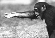 chimp 3821
