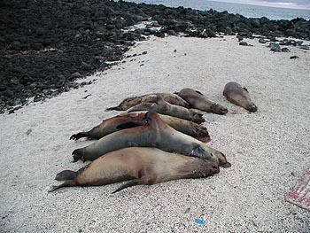 dead sea lions