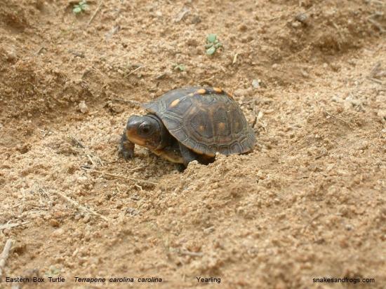 eastern box turtle yearling 1r ei5Ex 19111
