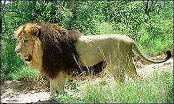 ethiopian black mane lions are in danger 9