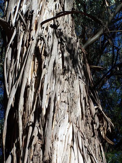 eucalyptus tree 3680