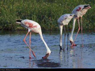 flamingo 5158