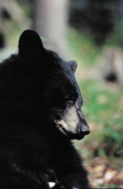 florida black bears
