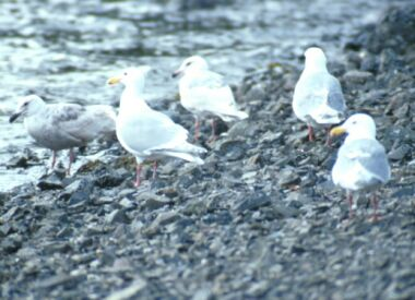 glaucous winged gulls