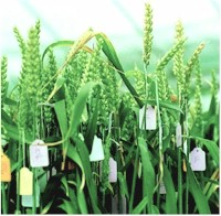 ge ically modified crops could help in sustainable