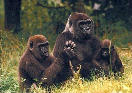 gorillas 45