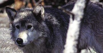 gray wolf in idaho 9