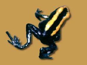 harlequin frog atelopus