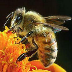 honeybee 9