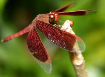 hundreds of millions of years ago dragonflies grew