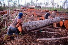 illegal loggin in orangutan forests 246