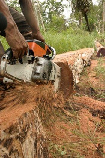 illegal logging of merbau wood 9