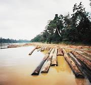 illegal logging in borneo