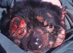 infected tasmanian devil 9
