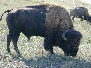 large bison
