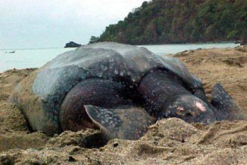 leatherback turtle 9