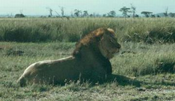 lions making a comeback on kenya ranches 9