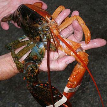 lobsters 18