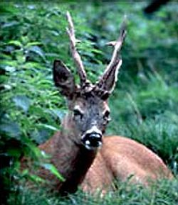 male roe deer 9