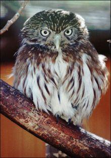 mexicos pygmy owl 9